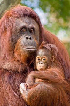 'Orangutans' - photo by Evan Hambrick (Evan Animals), via Flickr;  mom and 6 month old baby at Lowry Park Zoo, Tampa, FL