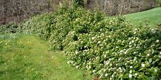 Viburnum tinus 'Eve Price', 2 x 2 m, wint-spr flwr Eve Price, May Garden, Garden Hedges, Planting Plan, Shrubs, Coastal, Garden Centre, Backyard, Landscape