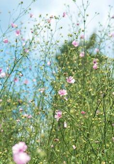 Althaea cannabina - big airy plant