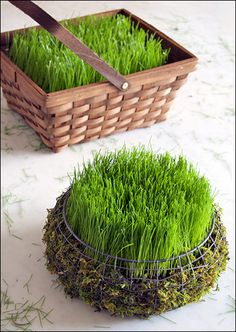 Grow winter ryegrass in the vegetable garden as a cover crop and plow under in the spring.