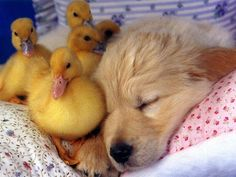 35 Sleeping Puppies Who Physically Can't Handle Their Own Cuteness - Cute Little golden Retriever Puppy with Baby Duckling Friends by his side Cute Baby Animals, Funny Animals, Animal Babies, Animal Pictures, Cute Pictures, Baby Pictures, Sleeping Puppies, Sleeping Babies, Cute Dogs Breeds