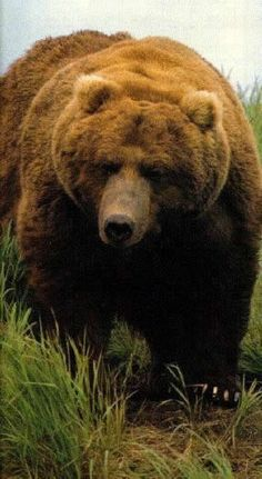 A very large brown grizzly bear ...