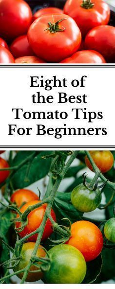 10 gardening tips for the best tomatoes The eight best tips you need to know before growing tomatoes. I learned these after two seasons of growing and it is has dramatically changed my tomato harvests! Growing Tomatoes Indoors, Tips For Growing Tomatoes, Growing Tomato Plants, Growing Tomatoes In Containers, Grow Tomatoes, Dried Tomatoes, Baby Tomatoes, Heirloom Tomatoes, Planting Vegetables