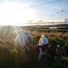 Pod słońcem Danii #visitdenmark #visitaarhus #koza #brabrandsøen #påvejhjem #lastdayatwork #view #aarhusv #awesome #sunset #cutegoat #goodbye