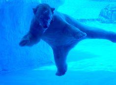 Inuka the polar bear at Singapore Zoo. Singapore Zoo, Biological Parents, Go To Sleep, Turtles, Polar Bear, Cute Animals, Tortoises, Pretty Animals, Turtle