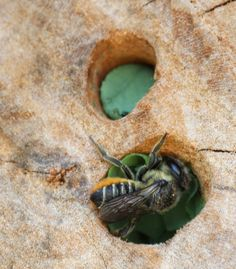 Megachile leaf cutter bee in the beginning of September, France. From http://afrenchgarden.wordpress.com/2013/11/07/more-on-the-mason-bees/