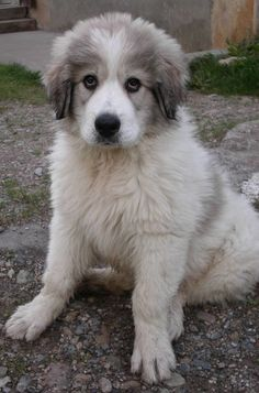 Pyrenean Mountain Dog puppy