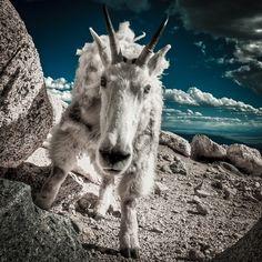 Colorado Mountain Goat ~ Photo by Geoff Ridenour