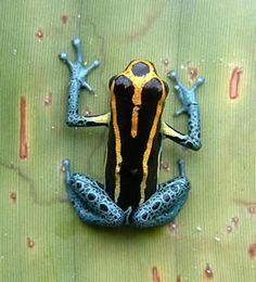 Colombia is #1 in quantity of anphibious species. 733 species, we have the 10% of the world in our country. This is the amazone poison frog.  Come and visit us at www.going2colombia.com