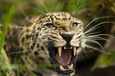 leopardo - Cerca con Google