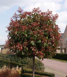 Photinia fraseri 'Red Robin' - glansmispel bolvorm - Bolbomen, Bomen, Planten op stam | Maréchal