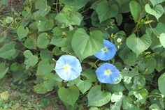 morning-glory-hidden  ---Linda Brown, Life on a Colorado Farm