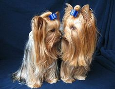 Brotherly love. Dog Boutique, Brotherly Love, Dog Care Tips, Yorkies, Dog Life, Siblings, Cute Dogs, Puppies, Babies