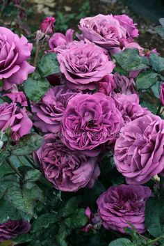 ~Treloar Roses - Transplant Australia's Thank You Rose