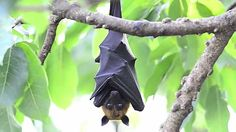 Fruit Bats - Educational and completely hilarious video...seriously.