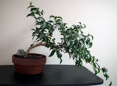 ginseng ficus great page full of useful info bonsai pinterest bonsais arbustos y plantas. Black Bedroom Furniture Sets. Home Design Ideas