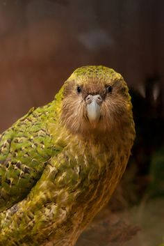 Kakapo Parrot - Flightless Parrot - Nocturnal Parrot- From New Zealand - photo by zealandia Flightless Parrot, Kakapo Parrot, All Birds, Love Birds, Beautiful Birds, Tropical Birds, Colorful Birds, Exotic Birds, Nocturne