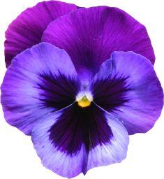 Flor violeta y morada.