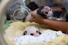 Zoo Atlanta's Twin Pandas... they're girls!!!