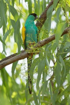 Hooded parrot (Psephotus dissimilis) - Cools off in the shade during the heat of the day. - Exotic Birds - by Nathan Litjens