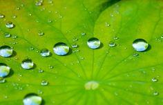 Pour se protéger de l'eau, les feuilles du lotus sont hydrophobes; l'eau perle et ne pénètre pas.