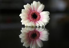 https://flic.kr/p/LzaYJZ | Serenity Reflections | A gentle Gerbera, reflects the beauty from all angels.