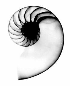 Shell Photo - Nautalus