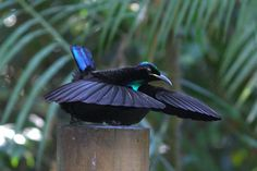 Male Victoria's Riflebird | Crater Lakes Rainforest Cottages - Accommodation on the Atherton ...
