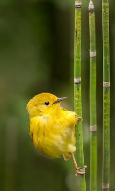Yellow Warbler (Setophaga petechia) | by ER Post