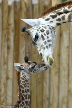 Giraffe kiss. Cincinnati Zoo