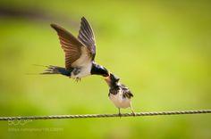 Barn swallows by thermans  http://ift.tt/2kGaTXN