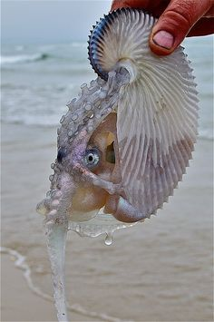 """A few weeks ago, a young girl saw this rare Argonaut; often called a Paper Nautilus; washed onto the beach at East Cape Conran, Victoria Australia. She told locals about it and Myke Mollard went and picked up the little dude then released it back into deeper water. Hopefully it survived; such a classic 'animal' of nature."" Gorgeous! I love that rather than feeding their curiosity, they showed compassion and rescued it instead by putting it back into the 'wild' where it hopefully survived…"