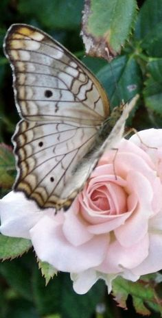 Rose butterfly - SO BEAUTIFUL! Papillon Butterfly, Papillon Rose, Butterfly Kisses, Butterfly Flowers, Beautiful Butterflies, Beautiful Flowers, Peacock Butterfly, Beautiful Gorgeous, Rosa Rose