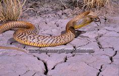 Inland Taipan Oxyuranus microlepidotus: Most venomous land snake in the world! Inland Taipan, Odd Couples, Geckos, Vertebrates, Reptiles And Amphibians, Circle Of Life, Lizards, Snails, Planet Earth