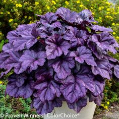 Easy to grow Coral Bells are versatile perennials! Coral Bells grown for bell shaped flowers and foliage. Offer gardeners option for color in shade gardens. Ground Cover Plants, Spring Plants, Heuchera, Coral Bells Heuchera, Plants, Dwarf Plants, Plants Under Trees, Flower Garden, Shade Loving Shrubs
