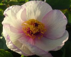"Picotee - Early Hybrid, single, white, the long milk-white petals are rounded and edged deep magenta-pink, crimson stems, a charmingly dwarf plant that belongs to the ""Dwarf"" peony group, (Saunders 1949). www.peonyshop.com"