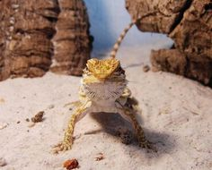 Why Your Bearded Dragon Is Digging - Is it normal? - Why Your Bearded Dragon Is Digging – Is it normal? Why Your Bearded Dragon - Bearded Dragon Food, Bearded Dragon Terrarium, Bearded Dragon Habitat, Bearded Dragon Substrate, Bearded Dragon Lighting, Lizard Habitat, Dragon Facts, Bearded Dragon Enclosure, Reptiles And Amphibians