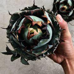 ". . . . . Agave titanota "" black & blue "" . . . Special . . . . . . . . #notforsale #titanotacollections #agave #agavelovers #titanota #plants #succulents #flowers #cacti #cactus #caudex #fashion #music #rock #la #california #sandiego #botanical #botanicalart #botanicallife #アガベ #多肉植物 #観葉食物 #フラワー #ファッション #ロック #ボタニカル #ボタニカルアート #ボタニカルライフ #garrotnagoya"
