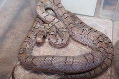 The Corn Snake Forum - Lots of Corn Snake Morphs