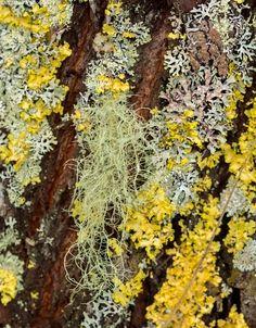 Raidan naavaa ja jäkäliä - raita pajulaji raidanrunko raidankuori naava jäkälä jäkälät harmaa keltainen lokakuu