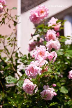 Rózsa (Rosa) gondozása, szaporítása