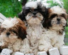 What's cuter than a shih tzu? THREE shih tzus!