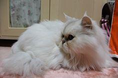 里親さんブログミーシャちゃん 猫 里親募集中 - http://iyaiya.jp/cat/archives/80848