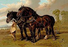 Clydesdale Stallion & Mare
