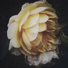 gorgeous bloom from @linda_lomelino #florals #floraldesign #engaged #inspire #love #flowerlove #bloom #rose