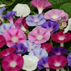 All Flowers, Colorful Flowers, Flower Seeds Online, Seed Shop, Grey Gardens, Sun And Water, Zinnias, Garden Gifts, Perennials