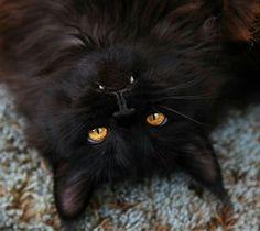 Black cat with his vicious fangs! | kitties | Pinterest | Black ...