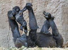 Bebê gorila, Jengo brinca com sua avó Viringika, no zoológico de Leipzig, na Alemanha; Jengo nasceu em 2 de dezembro de 2013. Foto: Jens Meyer/Associated Press