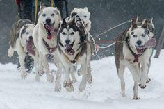 Dos perros de trineo tiran su ''musher'' mientrad compiten en el Campeonato Europeo de perros de trineo en Haidmuehle, Alemania. (Foto: AFP)