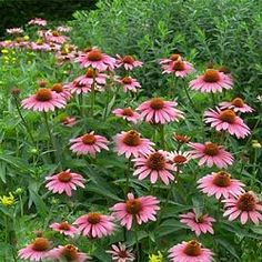 "echinacea-littlemagnus2.jpg (31181 bytes) 'Little Magnus' 14"" - 18"""